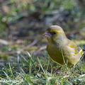 Verdier d'Europe, Chloris chloris, European Greenfinch