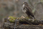 Buse variable, Buteo buteo, Common Buzzard