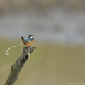 Martin-pêcheur d'Europe, Alcedo atthis, Common Kingfisher