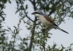 Pie-grièche écorcheur, Lanius collurio, Red-backed Shrike