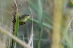 Pouillot fitis, Phylloscopus trochilus, Willow Warbler